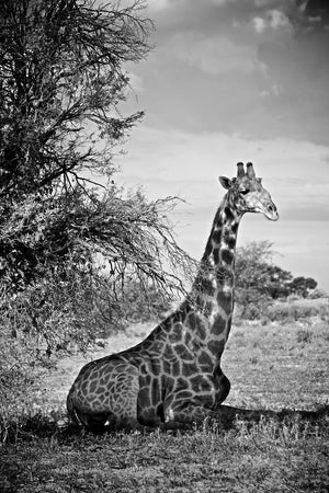 Load image into Gallery viewer, 'Sitting Giraffe' Fine Art Giraffe Print - Wild In Africa