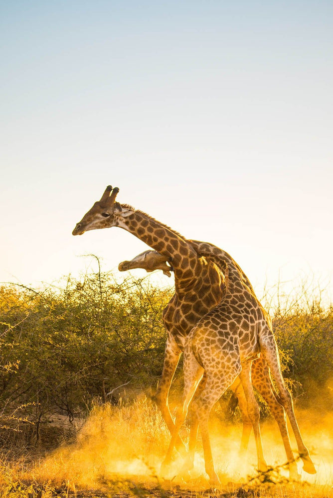 Load image into Gallery viewer, 'Giraffe Necking II'