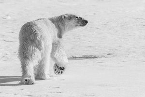 'The Look' Fine Art Polar Bear Print - Wild In Africa
