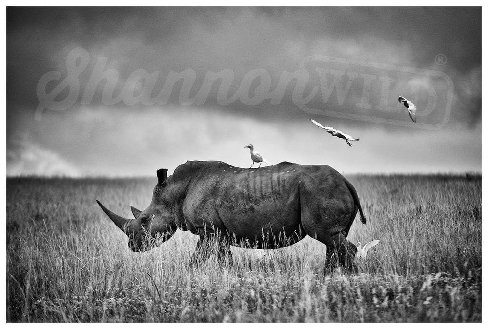 'White Rhino with Cattle Egrets' Rhino Fine Art Print - Wild In Africa