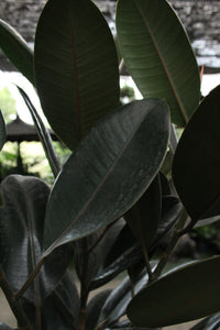 Ficus Elastica | Green Plants