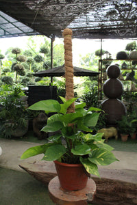 Money Plant with Stick | Green Plants