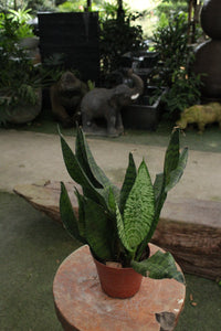 Sanservieria | Green Plants