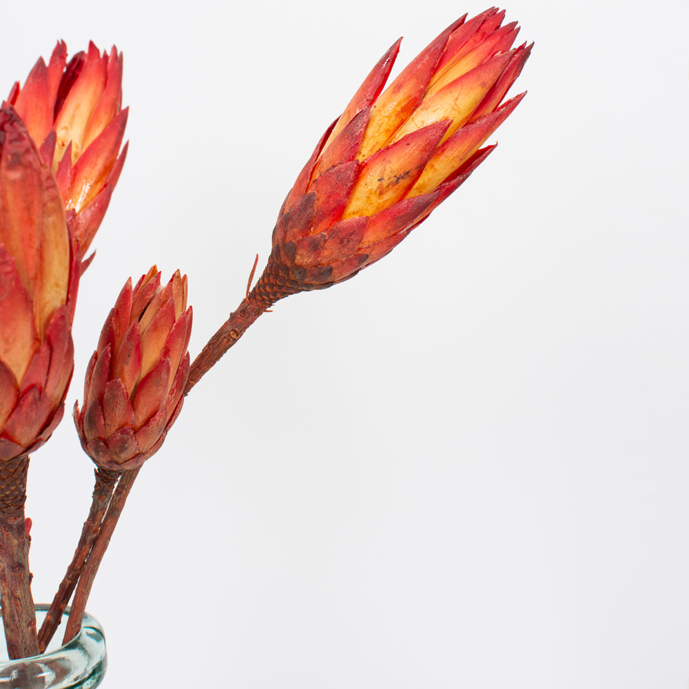 Protea Burnt Orange & Red