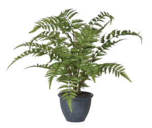 Green Bracken Fern Bush in Dark Grey Pot