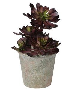 Black Aeonium Succulent in Textured Pot