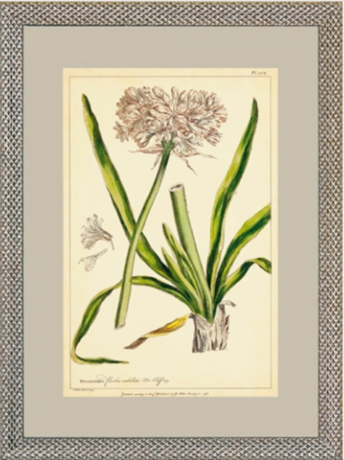 Miller Polianthes