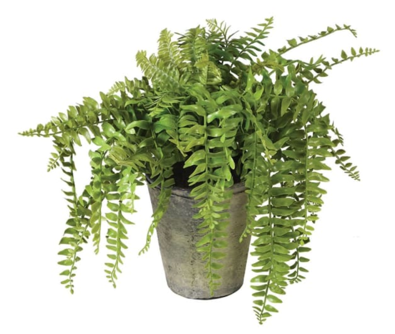 Green Fern Plant in Pot