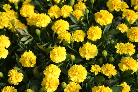 Flower Seeds for Planting - MAR259 French Marigold 'Valencia'. O' Green Living - Seed Shop Singapore