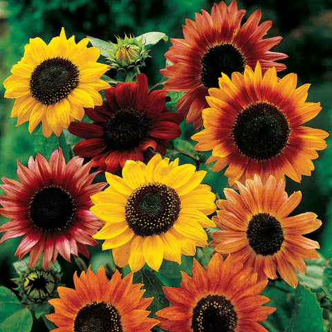 Flower Seeds for Planting - FL459 Sunflower 'Evening Sun'. O' Green Living - Seed Shop Singapore.
