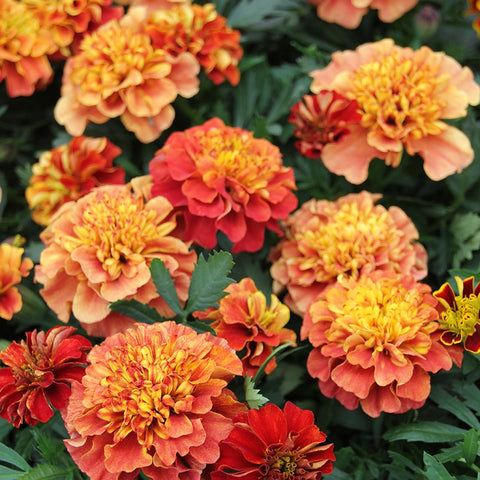 Flower Seeds for Planting - MAR266 Marigold French