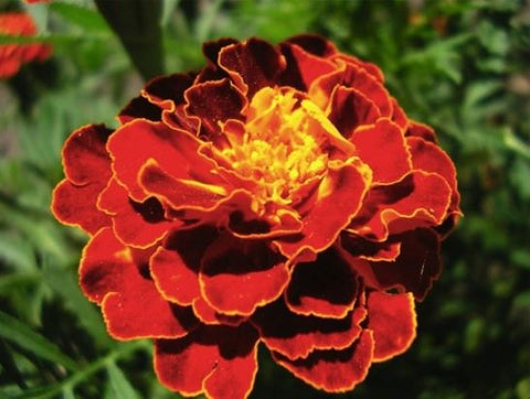 Seeds Master Singapore - S260 French Marigold