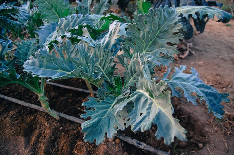 Seeds Master Singapore - VL135 Kale Curry
