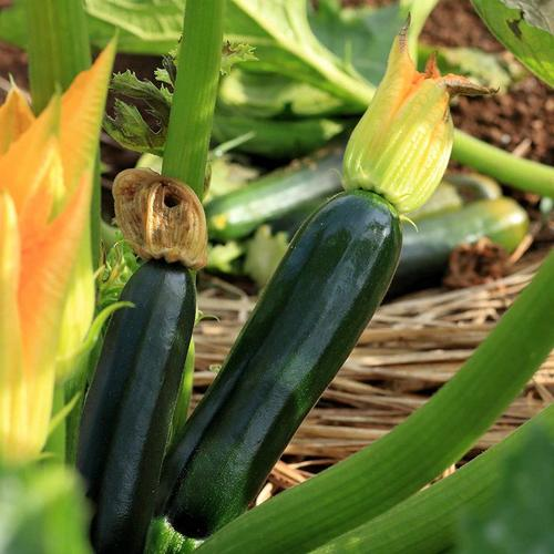 "Seeds Master Singapore - S22 Zucchini ""Black Beauty"" (5 Seeds) Fruit Seeds"