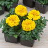 Flowers- MAR259 French Marigold 'Valencia' (300-320 Seeds)