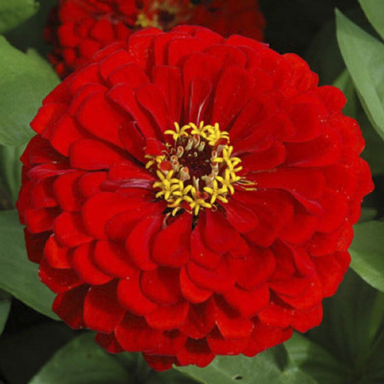 Flower Seeds for Planting - FL439 Zinnia 'Scarlet Flame' (90 Seeds). O' Green Living - Seed Shop Singapore.
