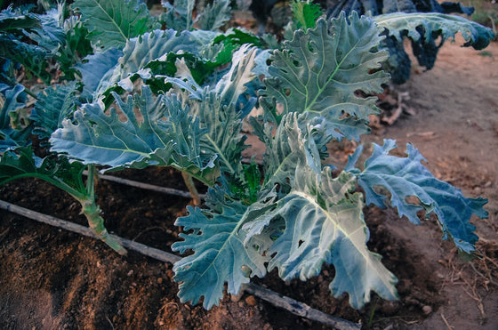 "Seeds Master Singapore - VL135 Kale Curry ""Fizz"" (0.2g) Veggie Seeds"