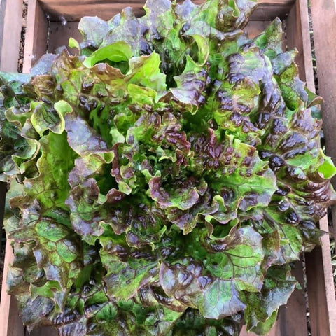 "Organic French Crisp Lettuce ""Lovelock"""