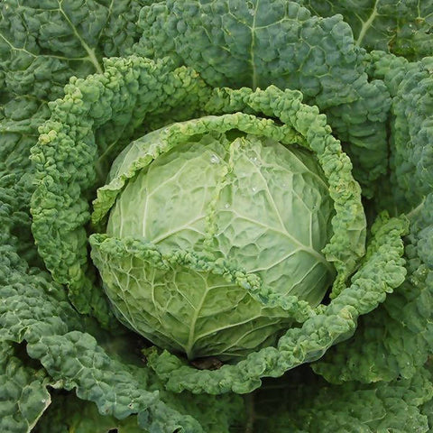 PLANTS - Organic Cabbage, Savoy (4 pack)