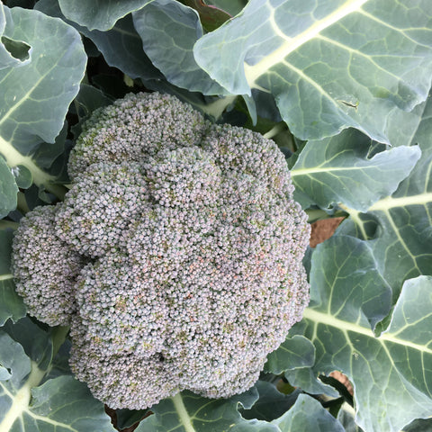 PLANTS - Broccoli, Belstar (4 pack)