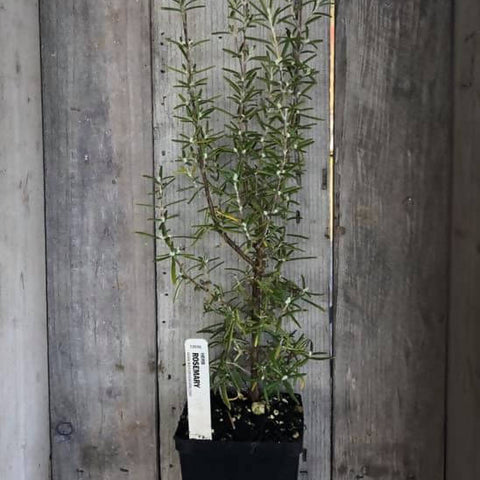 "PLANTS - Organic Rosemary (4"" pot)"