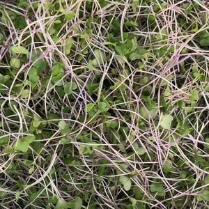 Cabbage Mix Microgreen- 2oz