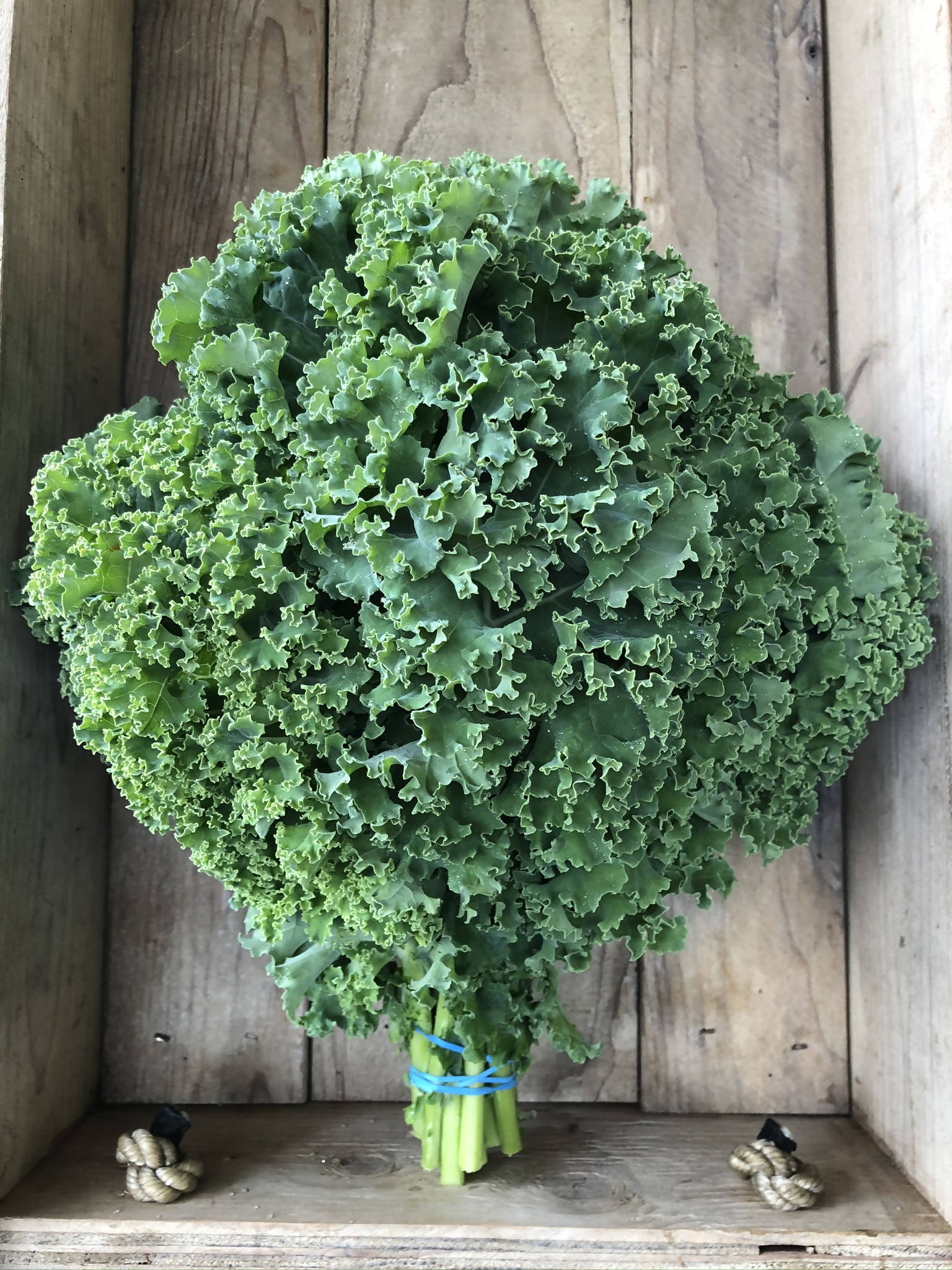 PLANTS - Organic Curly Kale (4 pack)