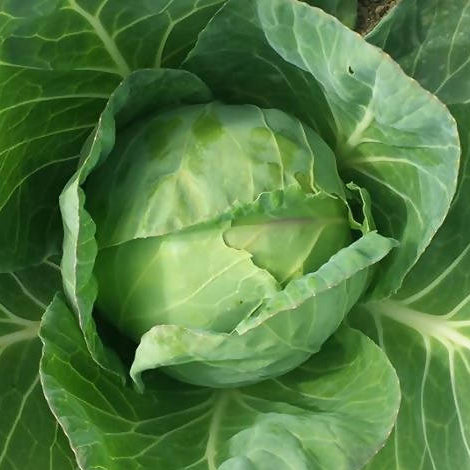 PLANTS - Organic Cabbage, Green (4 pack)
