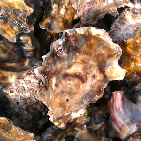 Pacific oysters, Extra Small