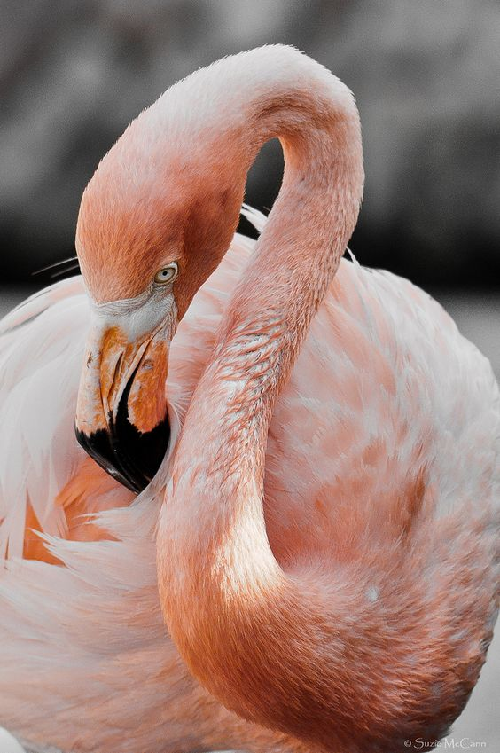 A pink flamingo looking down