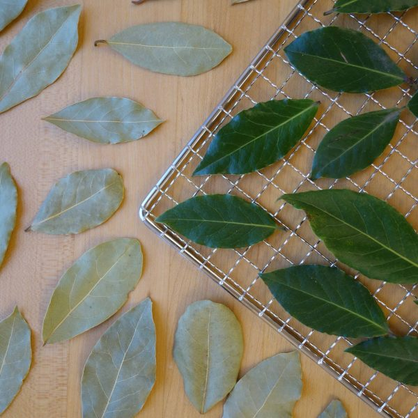Fresh and dehydrated bay leaves on a dehydrator rack