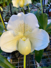Load image into Gallery viewer, Paphiopedilum ICE AGE  ( Pacific Shamrock x Ice Castle )