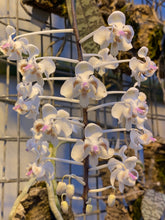Load image into Gallery viewer, Phalaenopsis celebensis