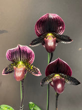 Load image into Gallery viewer, Paphiopedilum BRUNELLO (Grand Sangiovese x Pulsar)