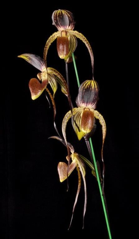 Paph. IN-CHARM ANITA (Genevieve Booth x anitum)