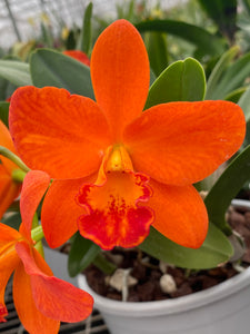 Rhyncattleanthe Shinfong Orange 'Poul's Passion'