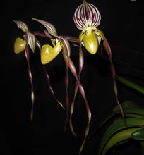 Load image into Gallery viewer, Paphiopedilum philippinense