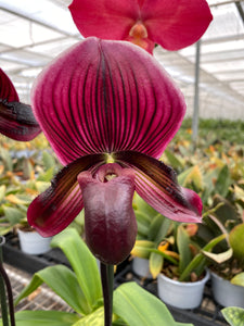 Paphiopedilum HUNG SHENG BAY	Sibling Cross of two selected forms