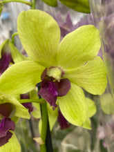 Load image into Gallery viewer, Dendrobium hybrid collection