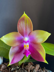 Phalaenopsis (Germaine Vincent x Dragon Tree Eagle)