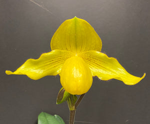 Paphiopedilum GOLD STRIKE (Dollgoldi x Wössner China Moon)