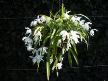 Load image into Gallery viewer, Coelogyne cristata	species