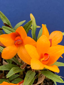 Copy of Dendrobium cuthbertsonii Golden Yellow