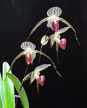 Load image into Gallery viewer, Paphiopedilum LADY ISABEL (rothschildianum x stonei)