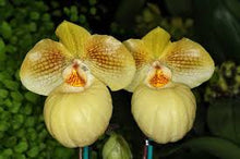 Load image into Gallery viewer, Paphiopedilum (hangianum x Fumi's Delight)
