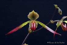 Load image into Gallery viewer, Paphiopedilum JULIUS (rothschildianum x lowii)
