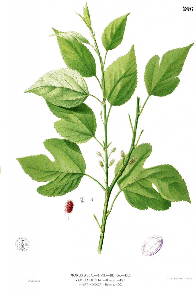 A illustration of mulberry leaves