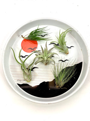 Airplant!