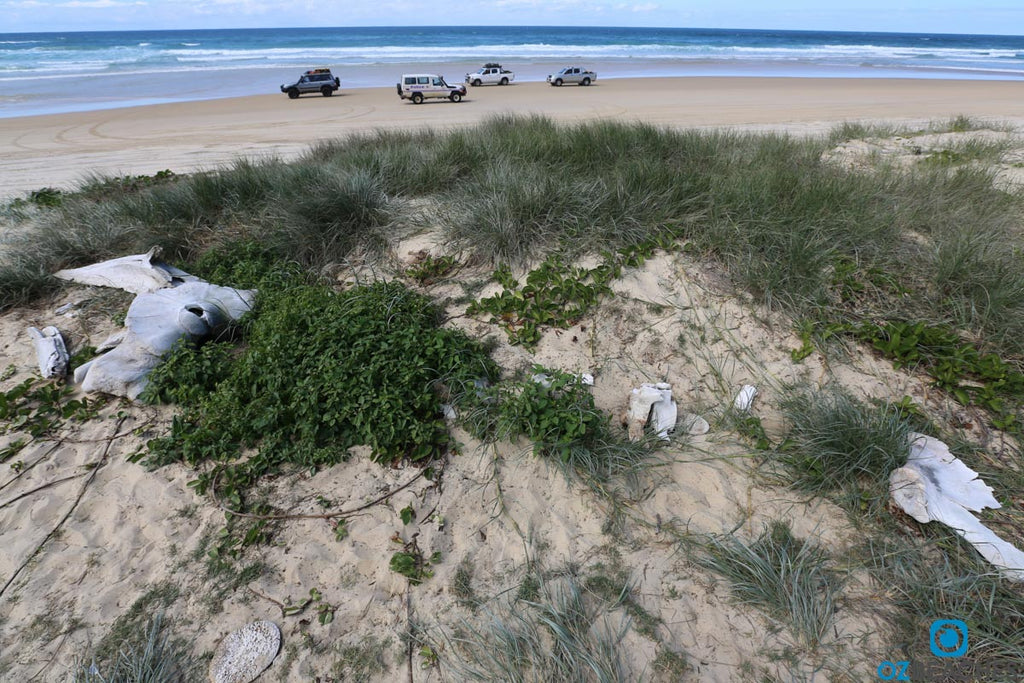Partial skeletal remains of a whale near Eli Creek on Fraser Island QLD