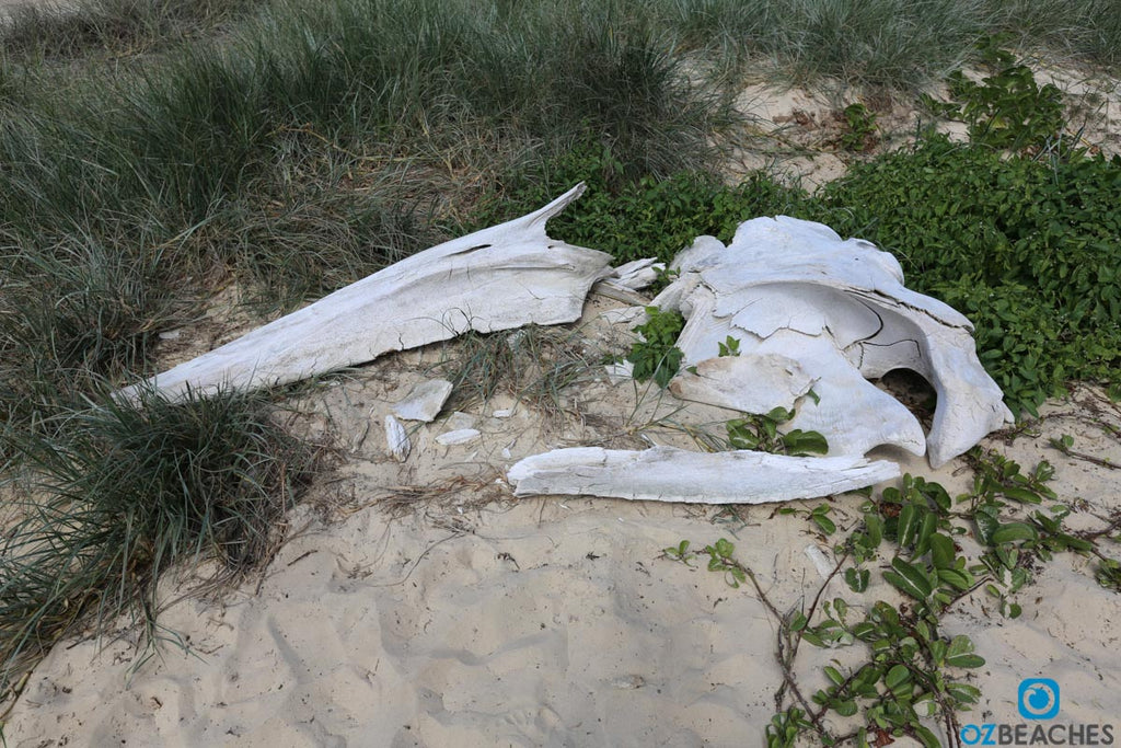 Skull of a whale near Eli Creek on Fraser Island